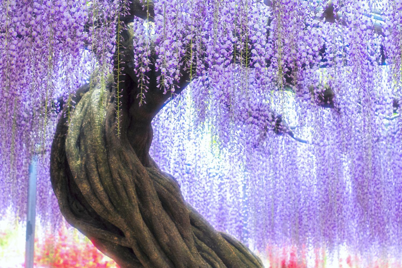 Фотообои «Глицинии фиолетовые»