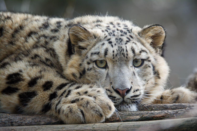 Фрески «Леопарды 2»