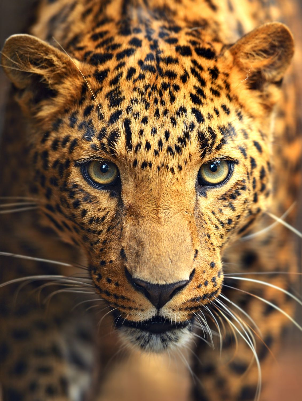 Фрески «Взгляд леопарда»