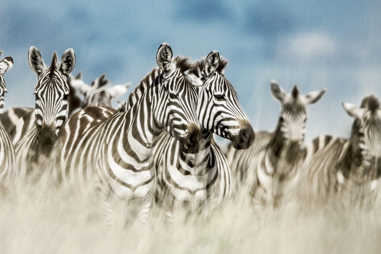 Фотообои «Стая зебры»