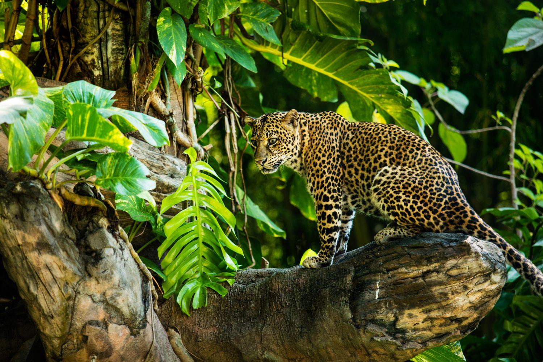 Фрески «Леопарды 16»