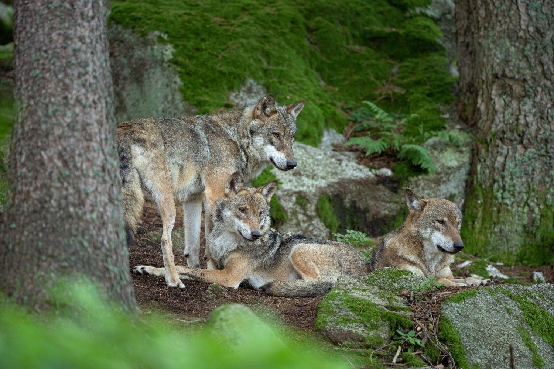 Фрески «Волки 27»
