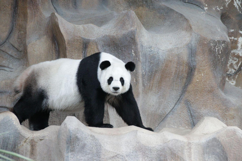Фрески «Панды 15»
