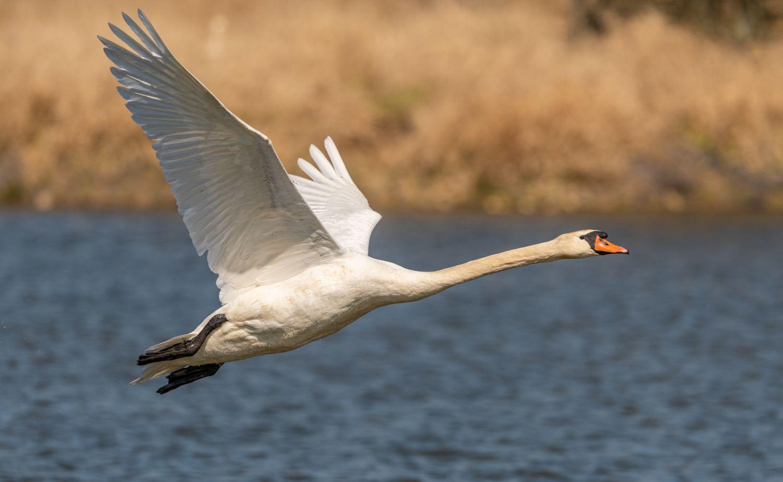 Фотообои «Лебеди 19»