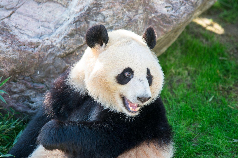 Фотообои «Панды 18»