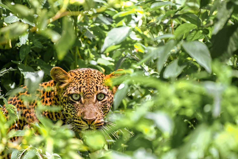 Фотообои «Леопарды 27»