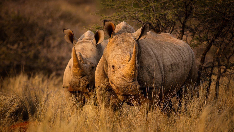 Фрески «Носороги 10»