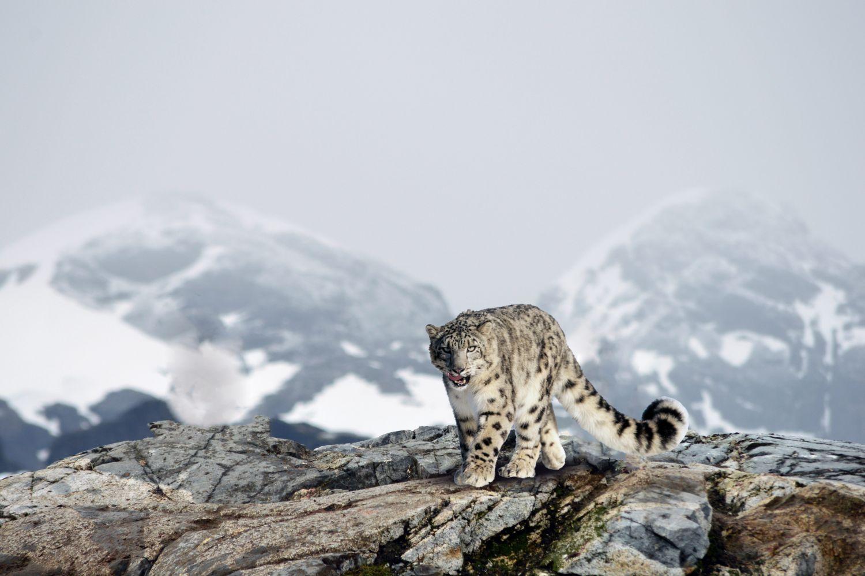 Фрески «Леопарды 29»