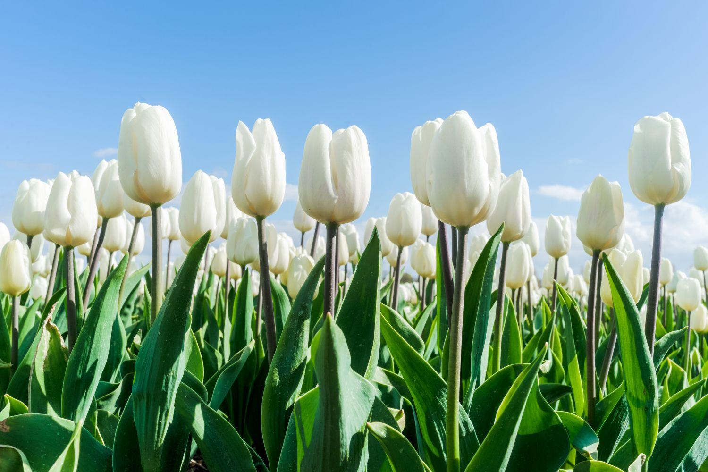 Фотообои «Белые тюльпаны»