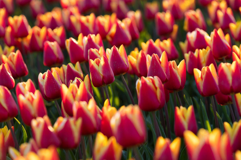 Фотообои «Великолепные тюльпаны»
