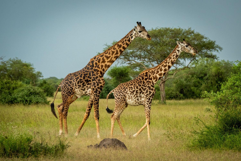 Фотообои «Два жирафа в саванне»