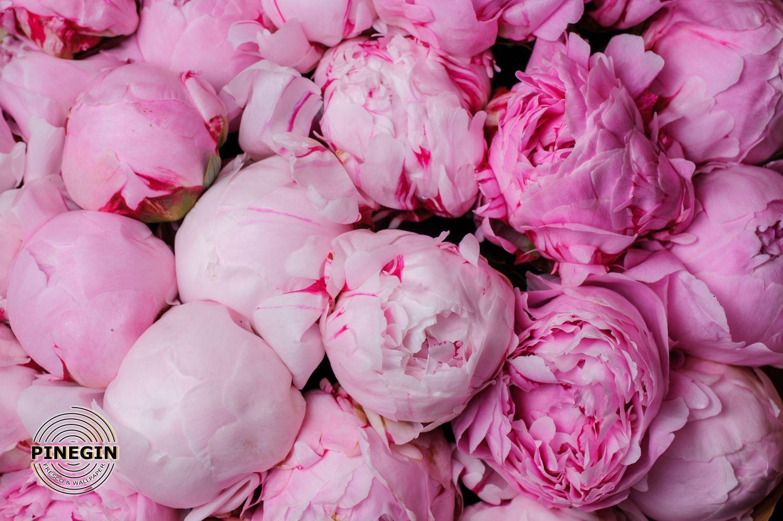 Фотообои «Пышные розовые пионы»