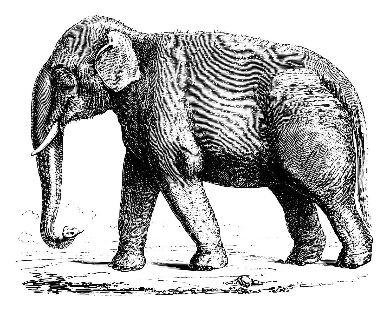Фотообои «Черно-белый слон»