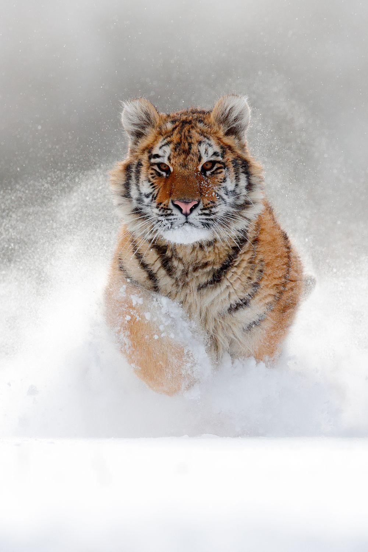 Фотообои «Тигр в прыжке»