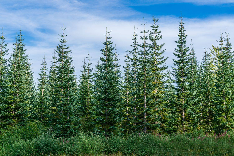 Фотообои «Еловый лес»