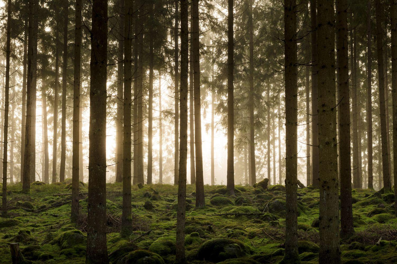 Фотообои «Сосновый бор»