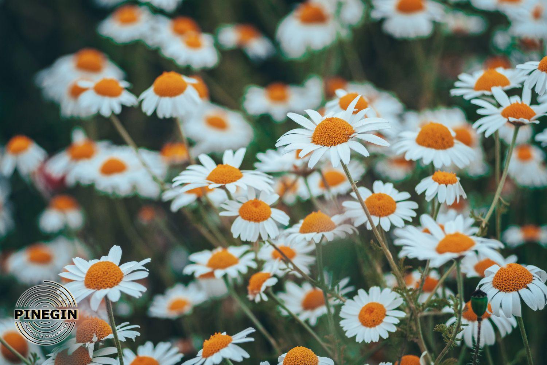 Фотообои «Ромашковое поле»