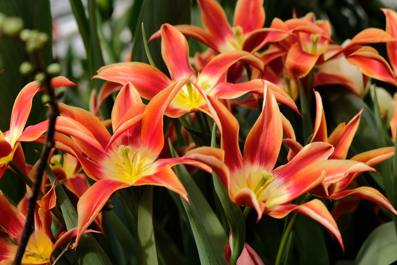 Фотообои «Открытые бутоны тюльпанов»
