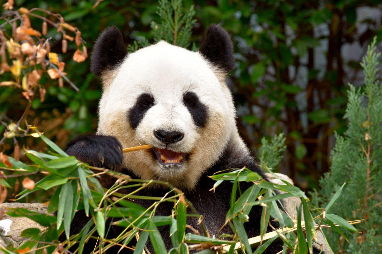 Фотообои «Панды 12»