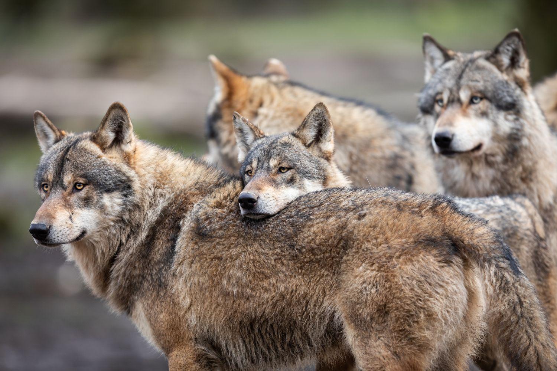 Фотообои «Волки 25»