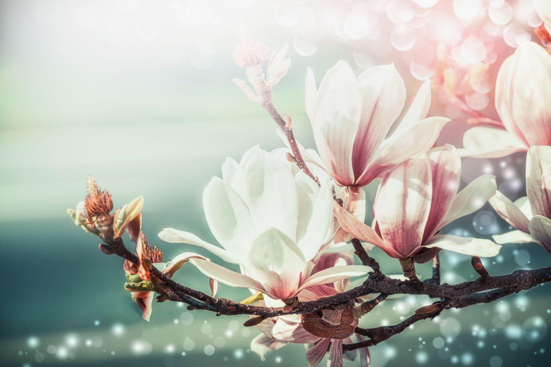 Фотообои «Цветение магнолии»