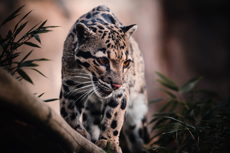 Фотообои «Леопарды 26»