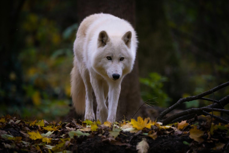 Фотообои «Волки 23»