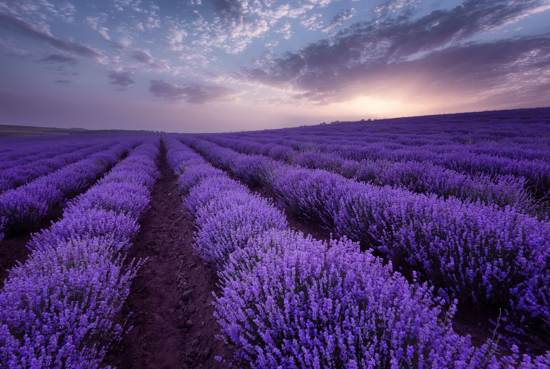 Фотообои «Лавандовое поле на закате»