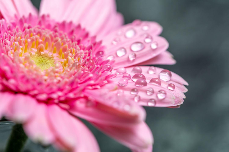 Фотообои «Розовые герберы в росе»
