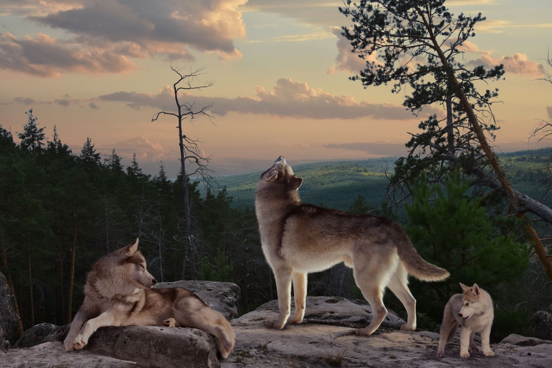 Фрески «Волки 11»