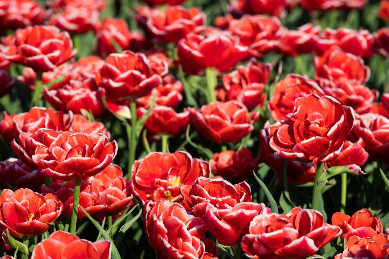 Фотообои «Роскошные тюльпаны»