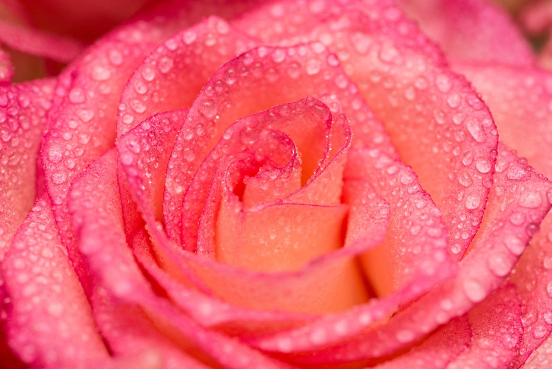 Фотообои «Красные розы 19»