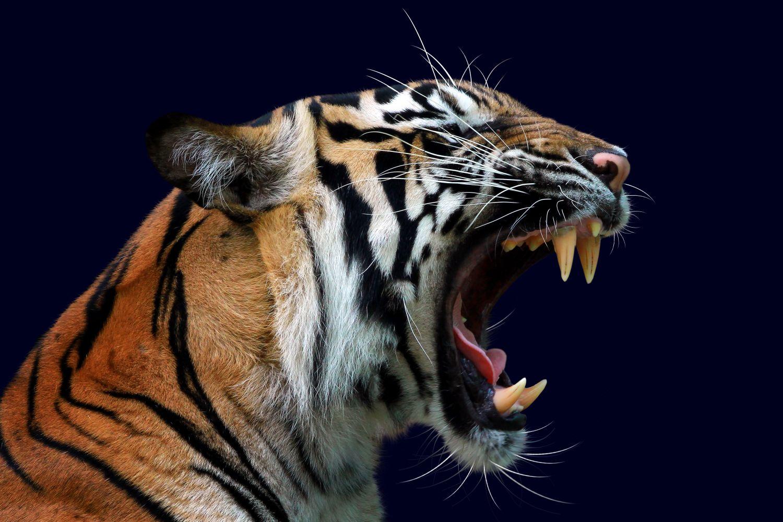 Фрески «Тигры 21»