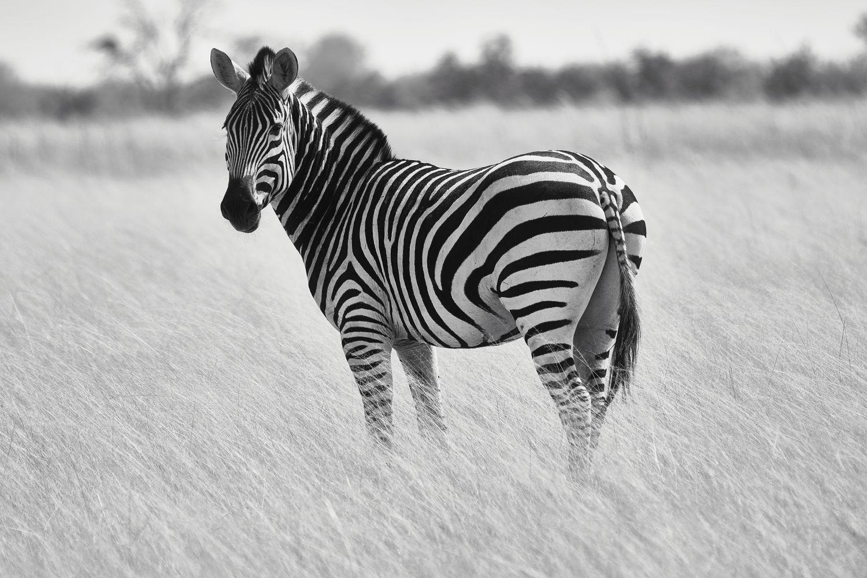 Фотообои «Зебры 25»