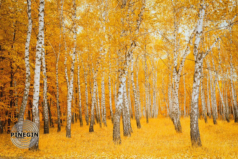 Фотообои «Осенние березы»