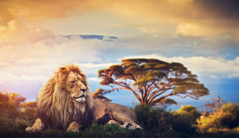 Фотообои «Лев на природе»
