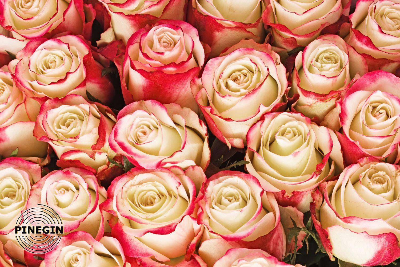 Фотообои «Контрастные бутоны роз»