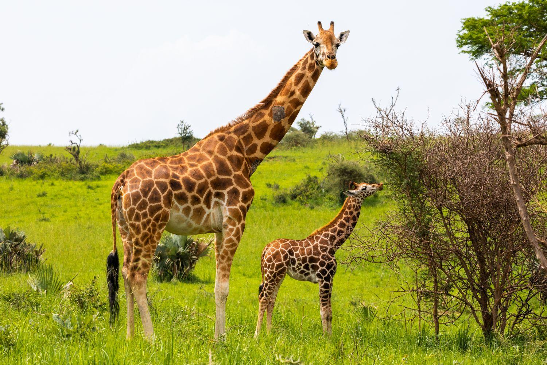 Фрески «Жираф и жирафёнок»