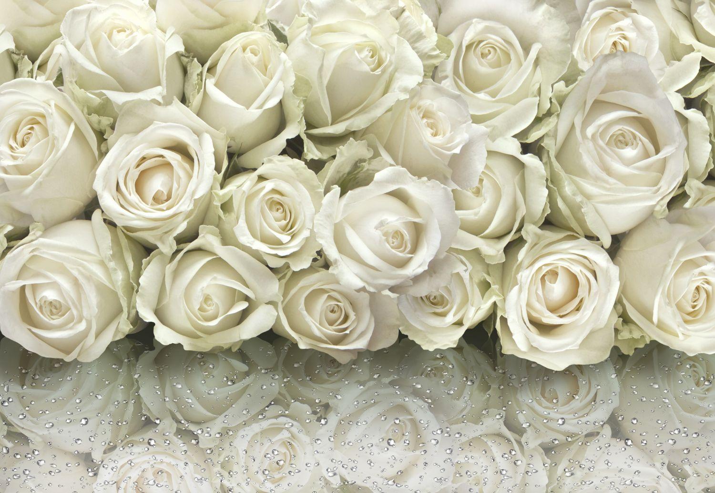 Фотообои «Белые розы с росой»