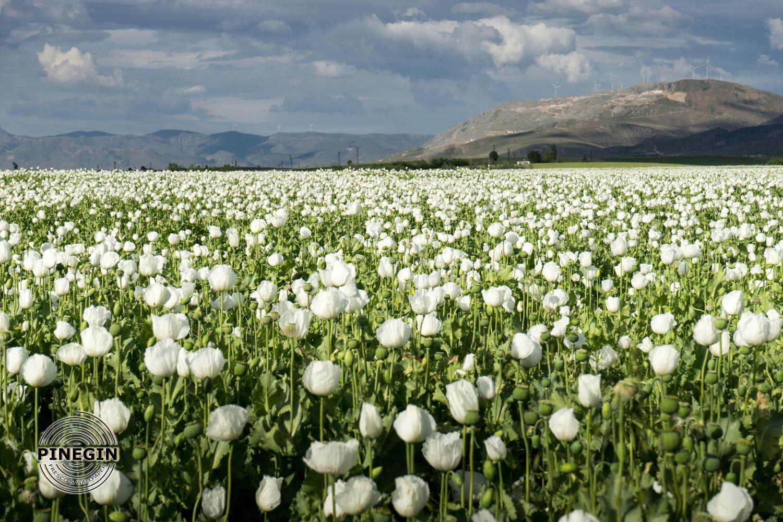 Фотообои «Белое поле с маками»