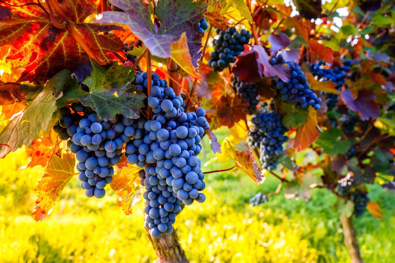 Фотообои «Виноград 2»