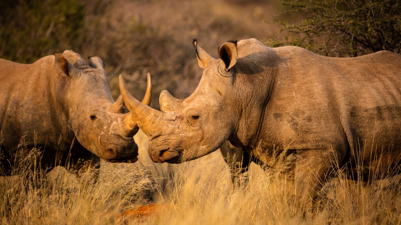 Фрески «Носороги 11»
