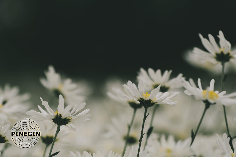 Фотообои «Ромашки»