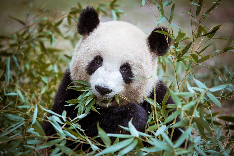 Фотообои «Панды 3»