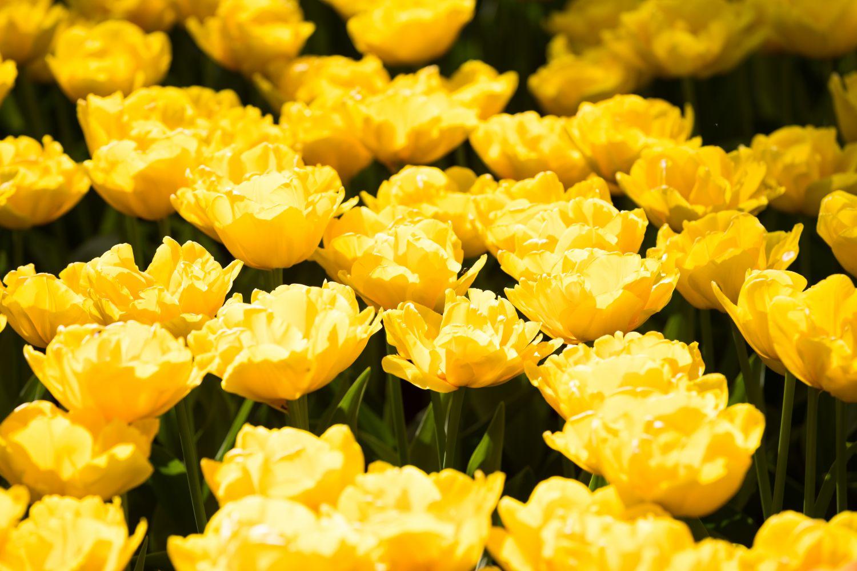 Фотообои «Много желтых тюльпанов»