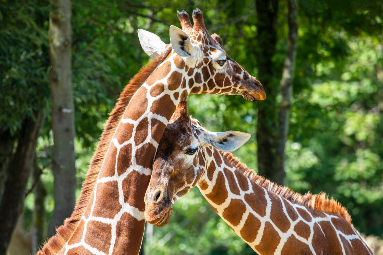 Фрески «Жирафы в зеленом лесу»