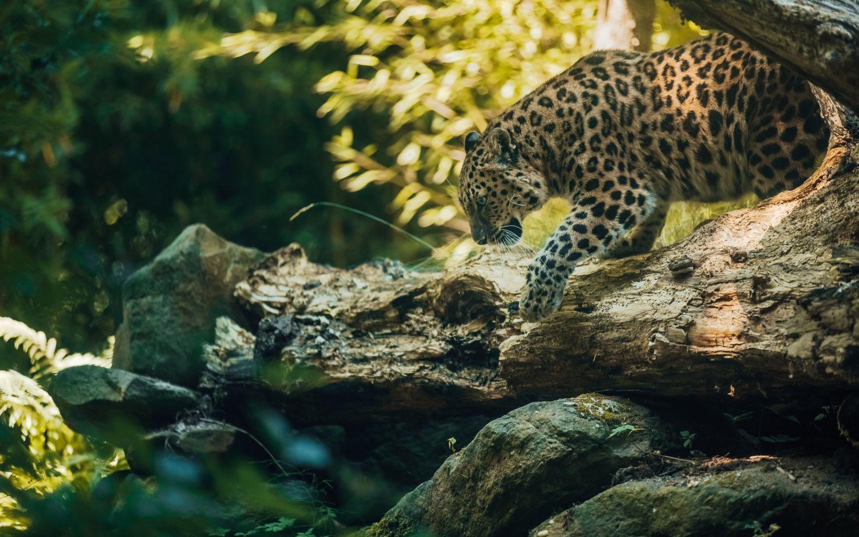 Фрески «Леопарды 10»