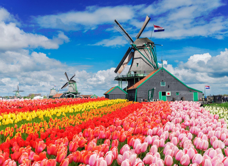 Фотообои «Море тюльпанов»