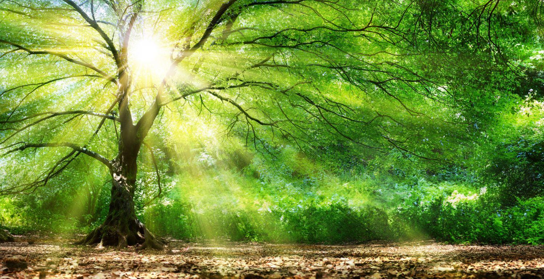 Фотообои «Большое дерево»