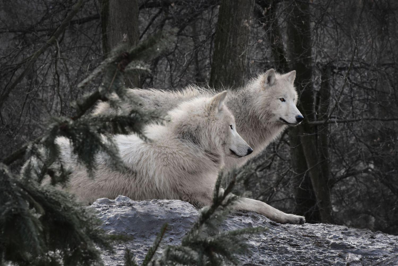 Фрески «Волки 10»